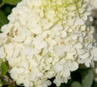 Shop HYDRANGEA P. MOON DANCE TM PPIP - 2 Gallon