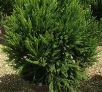 Shop Cryptomeria Chapel View  - 3 Gallon