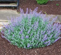 Shop Walker's Low Catmint  - 1 Gallon