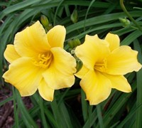 Shop Hemerocallis Stella De Oro - 1 Gallon
