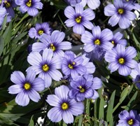 Blue Eyed Grass - Sisyrinchium