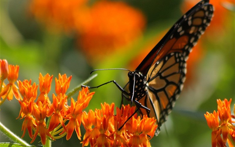 Butterfly Milkweed Photo 1