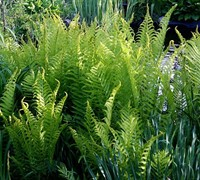The King Ostrich Fern - Matteuccia