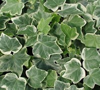 Anne Marie Variegated Ivy