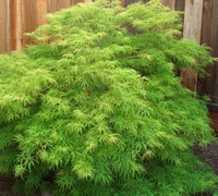 Shop Waterfall Japanese Maple - 3 Gallon
