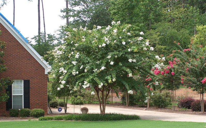 Natchez Crape Myrtle - 3 Gallon - Flowering Trees | ToGoGarden