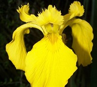 Iris pseudacorus - Yellow Flag Iris