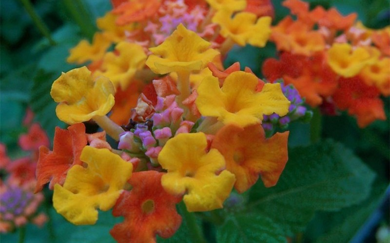 Sonset Hardy Lantana Photo 1