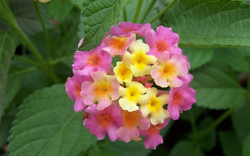 Sonset Hardy Lantana Photo 4