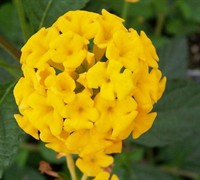 Shop New Gold Hardy Lantana - 1 Gallon