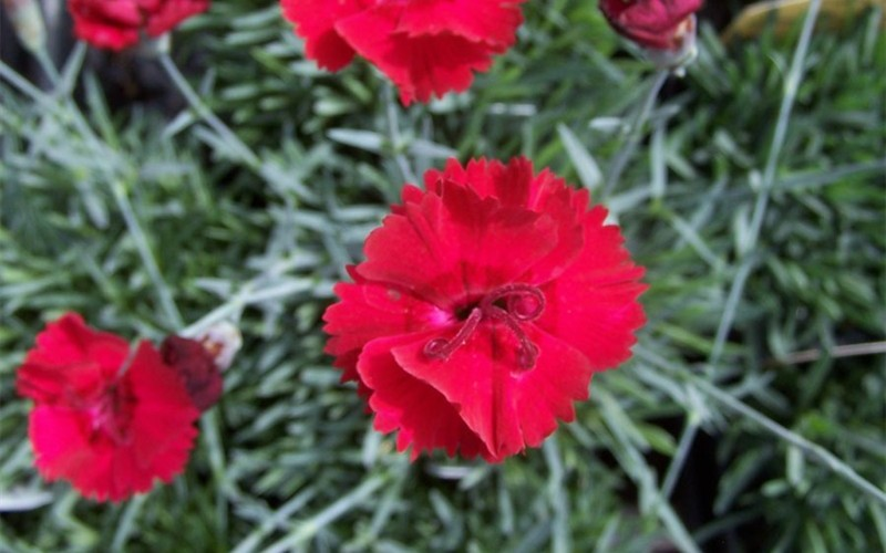 Firestar Dianthus  Photo 2