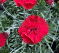 Shop Firestar Dianthus  - 1 Gallon