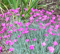 Shop Firewitch Dianthus - 10 Count Flat of Quart Pots