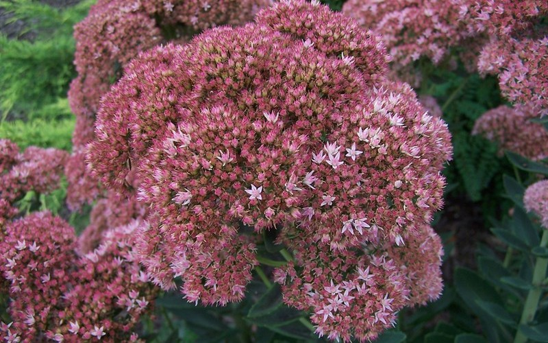 Autumn Joy Sedum - Stonecrop Photo 2