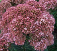 Autumn Joy Sedum - Stonecrop
