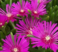 Shop Delosperma cooperi - Purple Hardy Ice Plant - 1 Gallon