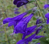 Black and Blue Salvia - Blue Anise Sage