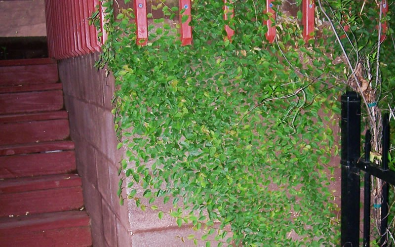 Creeping Fig Photo 5