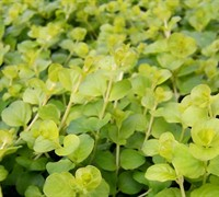 Shop Aurea Golden Creeping Jenny - 3 Count Flat of Pint Pots