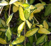 Illumination Variegated Periwinkle