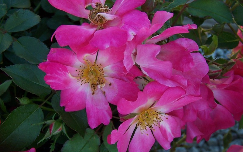 Pink Drift Rose Photo 3