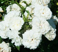 Shop White Drift Rose - 2 Gallon