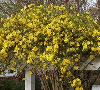Carolina Yellow Jasmine Vine - Gelsemium sempervirens