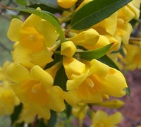 Shop Carolina Yellow Jasmine Vine - Gelsemium sempervirens - 2.5 Quart