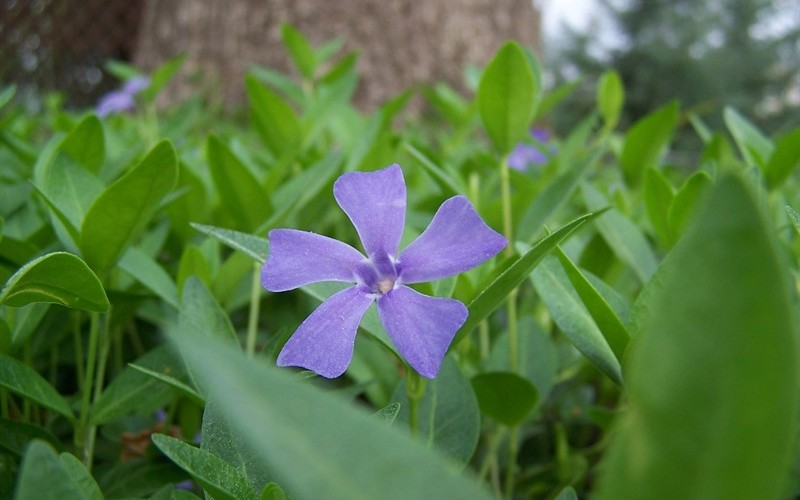 "Evergreen Periwinkle - 18 Count Flat of 3.5"" Pots - Evergreen Vines 