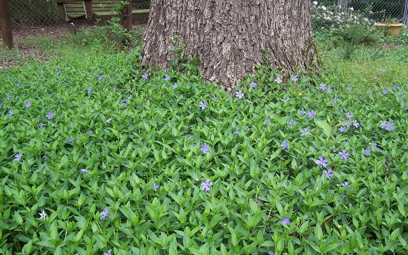 Evergreen Periwinkle Photo 4