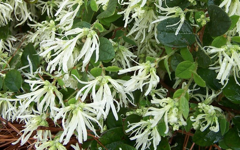 Emerald Snow Loropetalum - 2.5 Quart - Shrubs for Spring Color | ToGoGarden