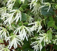 Shop Emerald Snow Loropetalum - 2.5 Quart