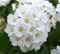 Reeves Bridal Wreath Spirea - Spirea cantoniensis 'Reeves'