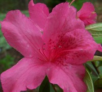 Shop Judge Solomon Southern Indica Azalea - 2.5 Quart