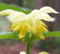 Yellow Archangel Lamiastrum