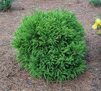 Shop Dwarf Global Japanese Cedar - Cryptomeria japonica 'Globosa Nana' - 1 Gallon