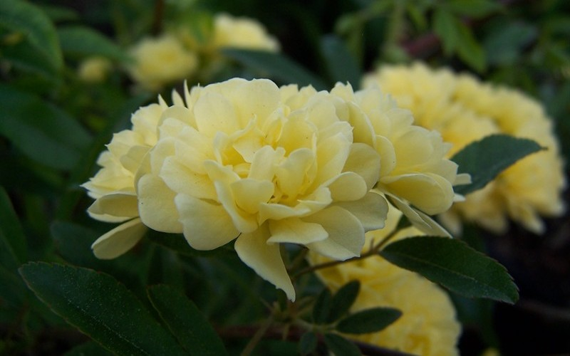 Lady Banks Yellow Rose - Rosa banksiae 'Lutea'