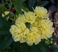 Lady Banks Yellow Rose