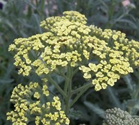 Achillea Little Moonshine Yarrow