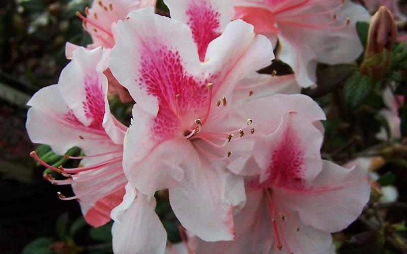 Autumn Chiffon Encore Azalea - 1 Gallon - Evergreen Shrubs | ToGoGarden