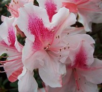 Shop Autumn Chiffon Encore Azalea - 1 Gallon