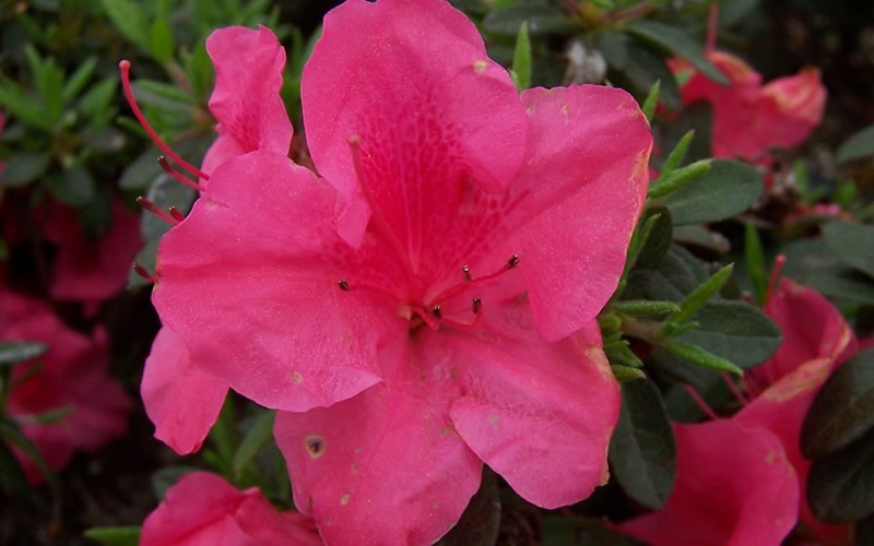 Autumn Carnival Encore Azalea - 1 Gallon - Shrubs for Spring Color | ToGoGarden