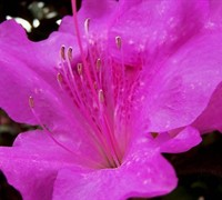 Autumn Royalty™ Encore® Azalea