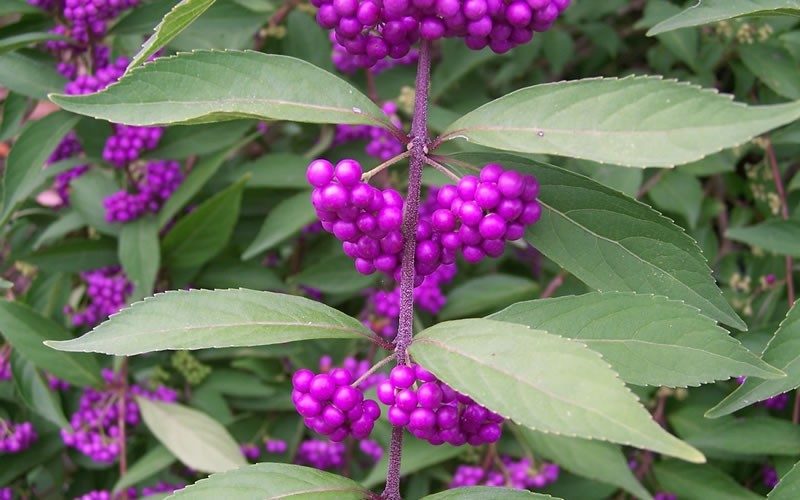 Issai Purple Beautyberry Bush - Callicarpa dichotoma 'Issai' - 3 Gallon - Beautyberry Shrubs | ToGoGarden