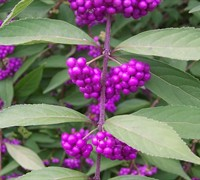 Issai Purple Beautyberry Bush - Callicarpa dichotoma 'Issai'