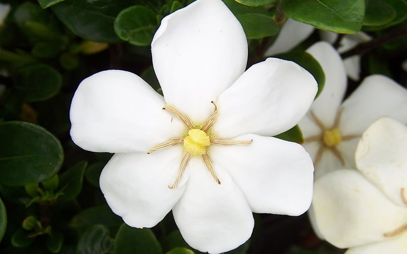 Hardy Daisy Gardenia - 2.5 Quart - Fragrant & Scented Shrubs | ToGoGarden