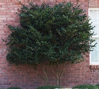 Shop Wavy Leaf Ligustrum - 2.5 Quart