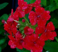 Homestead Carpet Red Hardy Verbena