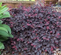 Shop Purple Pixie Loropetalum - 2 Gallon