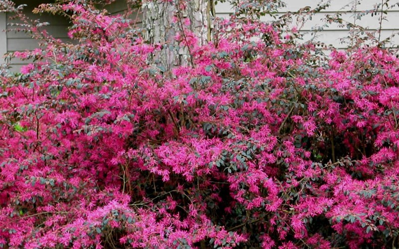 Plum Delight Loropetalum - 1 Gallon - Shrubs for Spring Color | ToGoGarden